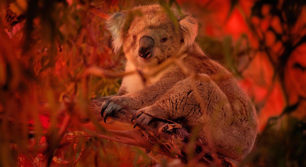 Koala climbing on eucalyptus with fire on the background.