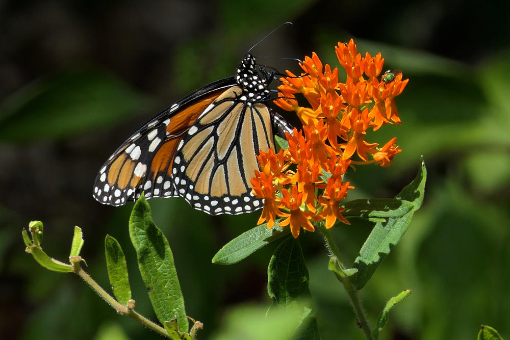A monarch butterfly on a butterfly weed