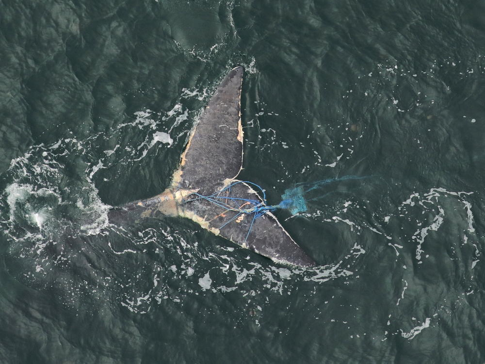 The tail of a right whale, tangled in blue line and fishing equipment
