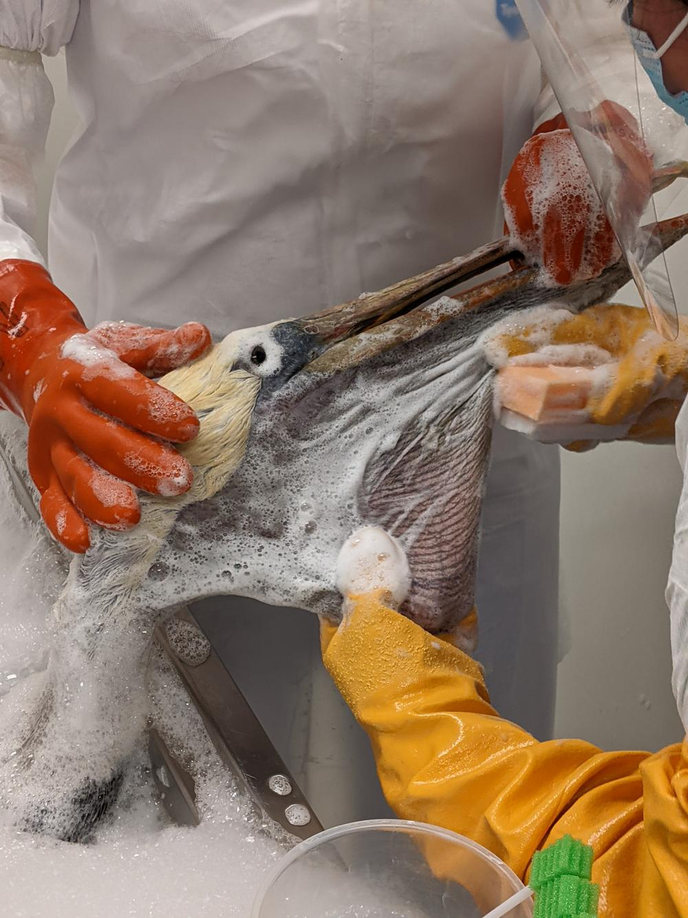 Workers in protective gear wash off a lightly-oiled pelican