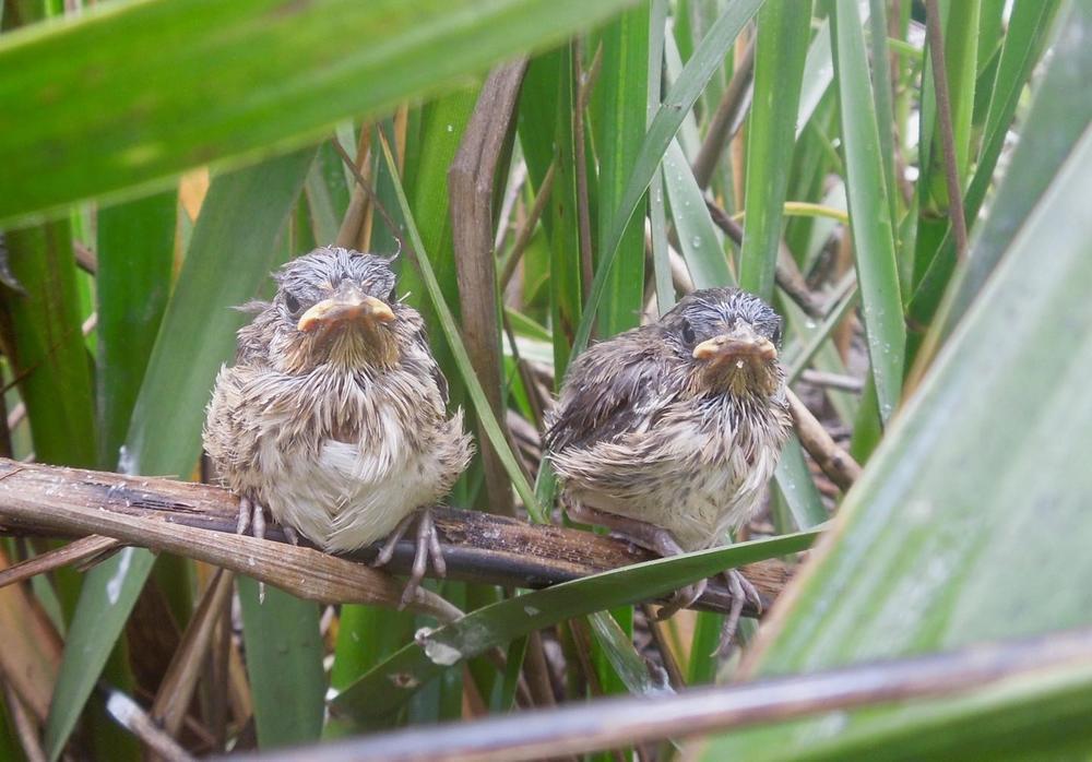 Seaside sparrow fledglings in coastal marshes in Brunswick, Georgia.