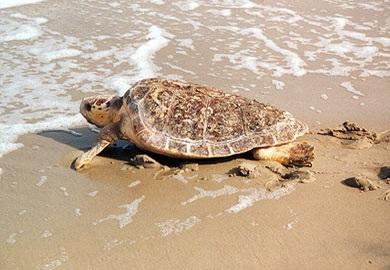 A loggerhead sea turtle on the beach near the water line