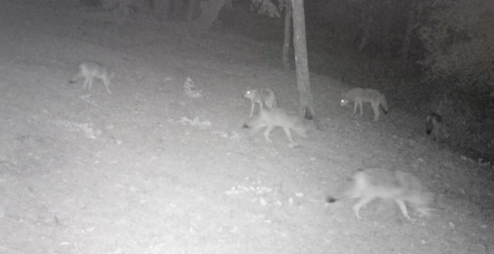 Coyotes at night.