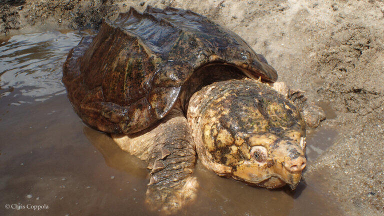 Only about 2,000 Suwannee alligator snapping turtles remain in just two states, Georgia and Florida.