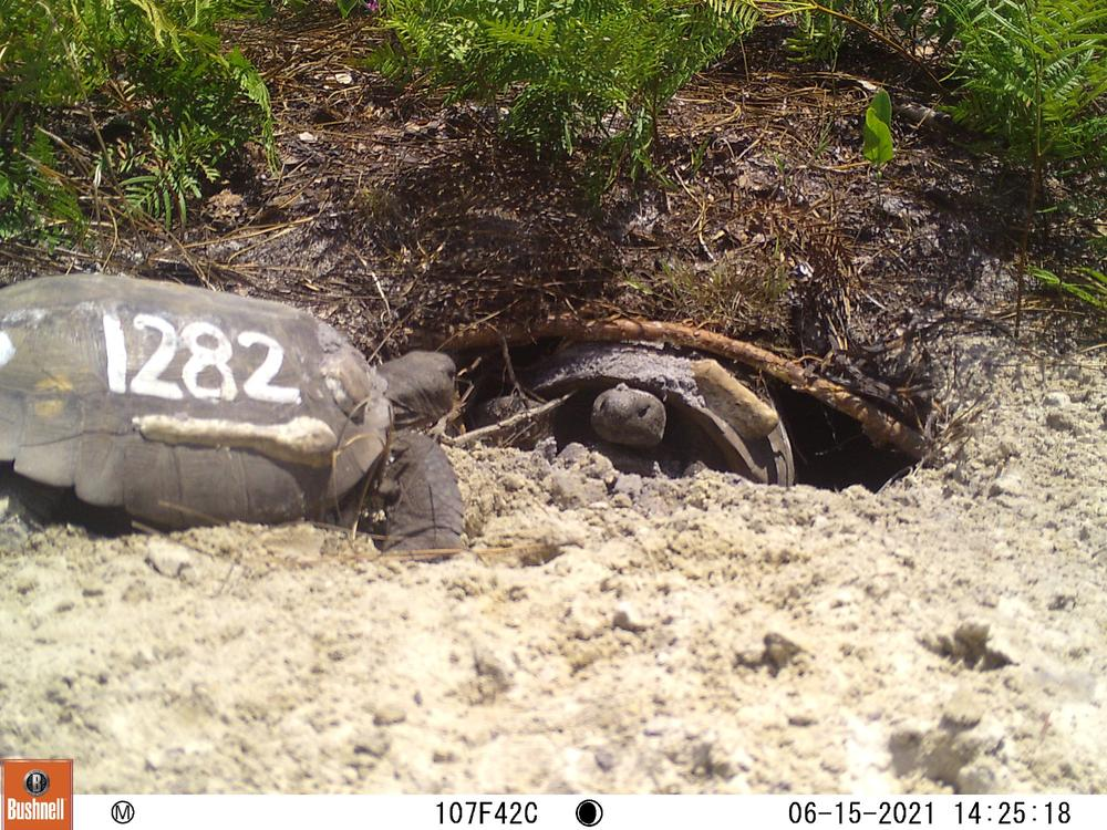 The UGA Coastal Ecology Lab tracks the gopher tortoise using GPS and a numbering system.