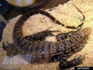 The Argentine black and white tegu is causing problems in parts of southeast Georgia by eating everything it can.