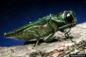 The emerald ash borer digs winding pathways through ash trees and has the capability to do irreversible damage to Georgia's trees.