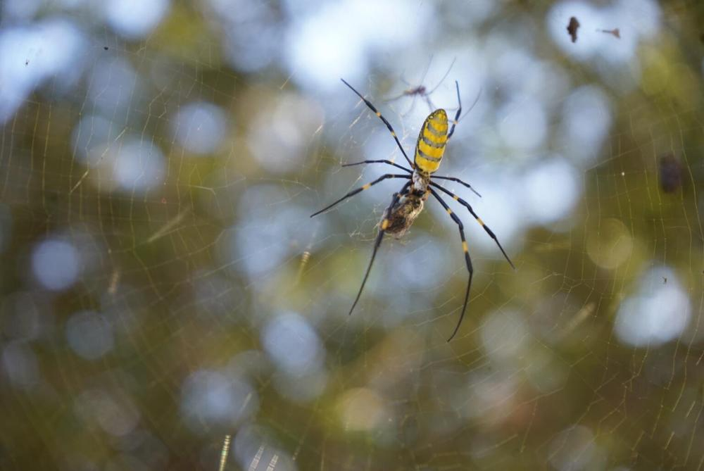 A Joro spider feeds on a bee in her Kennesaw web.