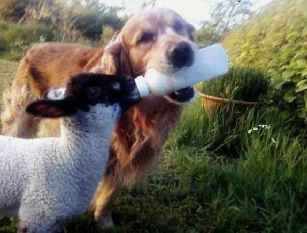 dog-feeding-lamb.jpg