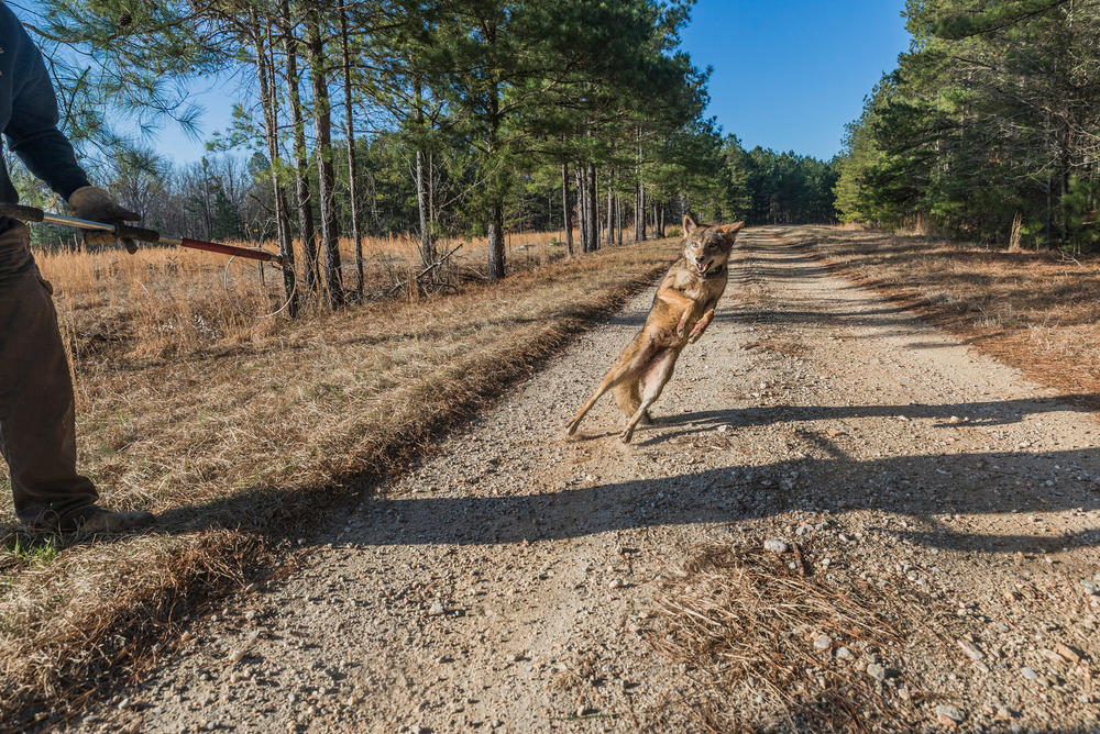 A female coyote caught and measured near Augusta for a study of coyotes in the South leaps as it is released in 2015.