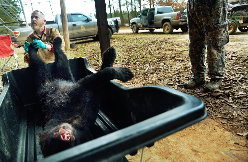 Then UGA graduate student Mike Hooker takes samples in 2013 from a bear killed in the one day middle Georgia bear hunt. The study Hooker worked on established limits on how many of the 400 or so mile Georgia bears could be killed every year.