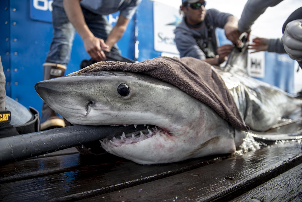 Scientists attached a tracker to and took samples from Brunswick, a white shark, as part of an ongoing effort to learn more about these ocean predators.