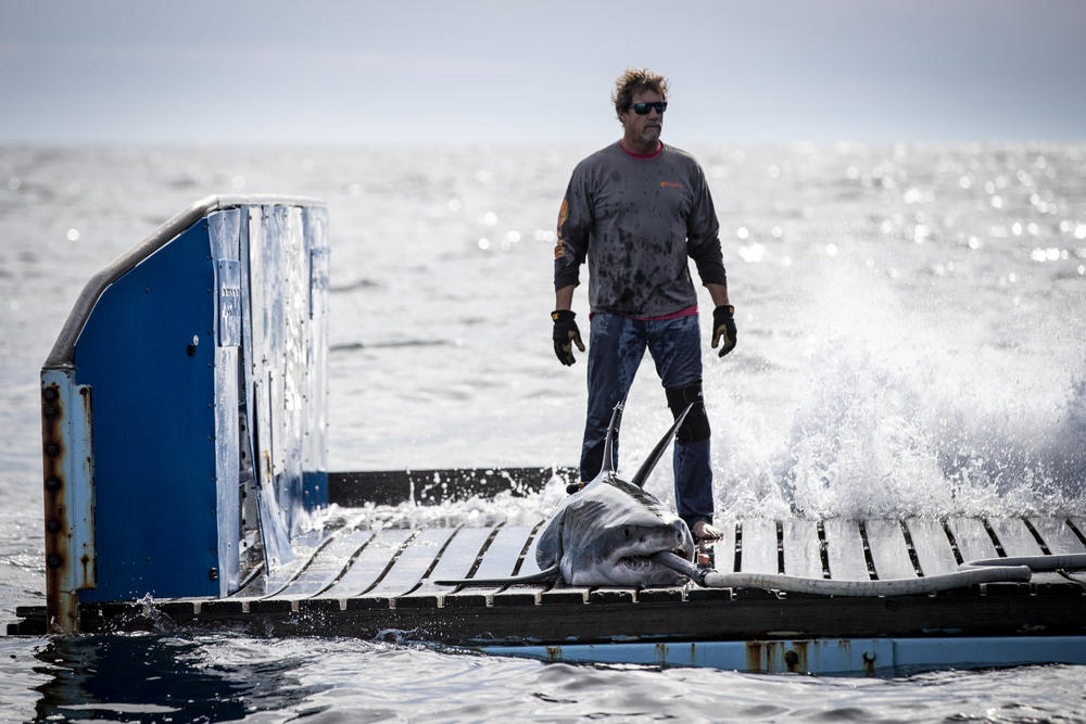 Captain and Fishing Master Brett McBride stands behind Brunswick, a white shark caught on OCEARCH's latest expedition.