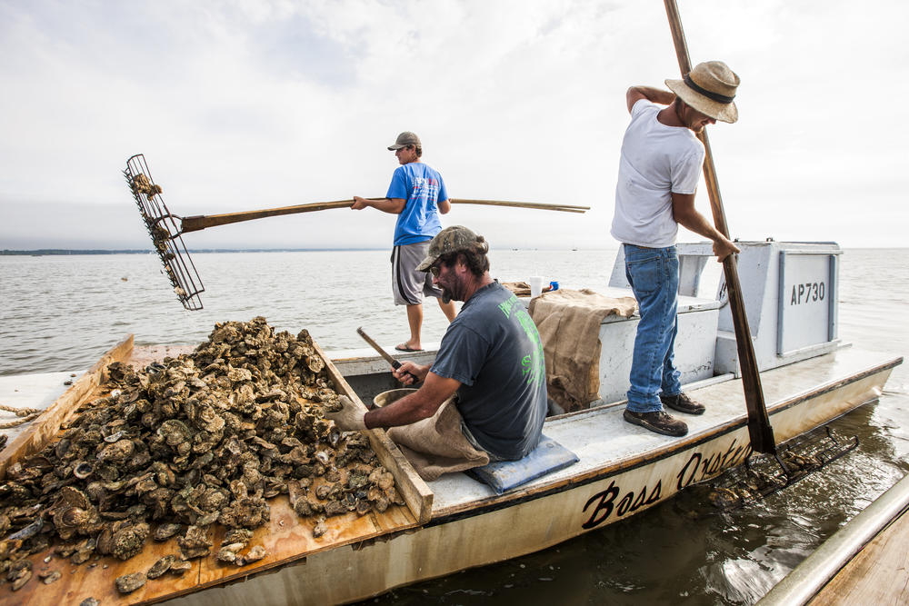In this April 2, 2015, file photo, John Stokes, center, culls Apalachicola oysters while his two sons Ryan, left, and Wesley Stokes tong oysters from the bottom of Apalachicola Bay.