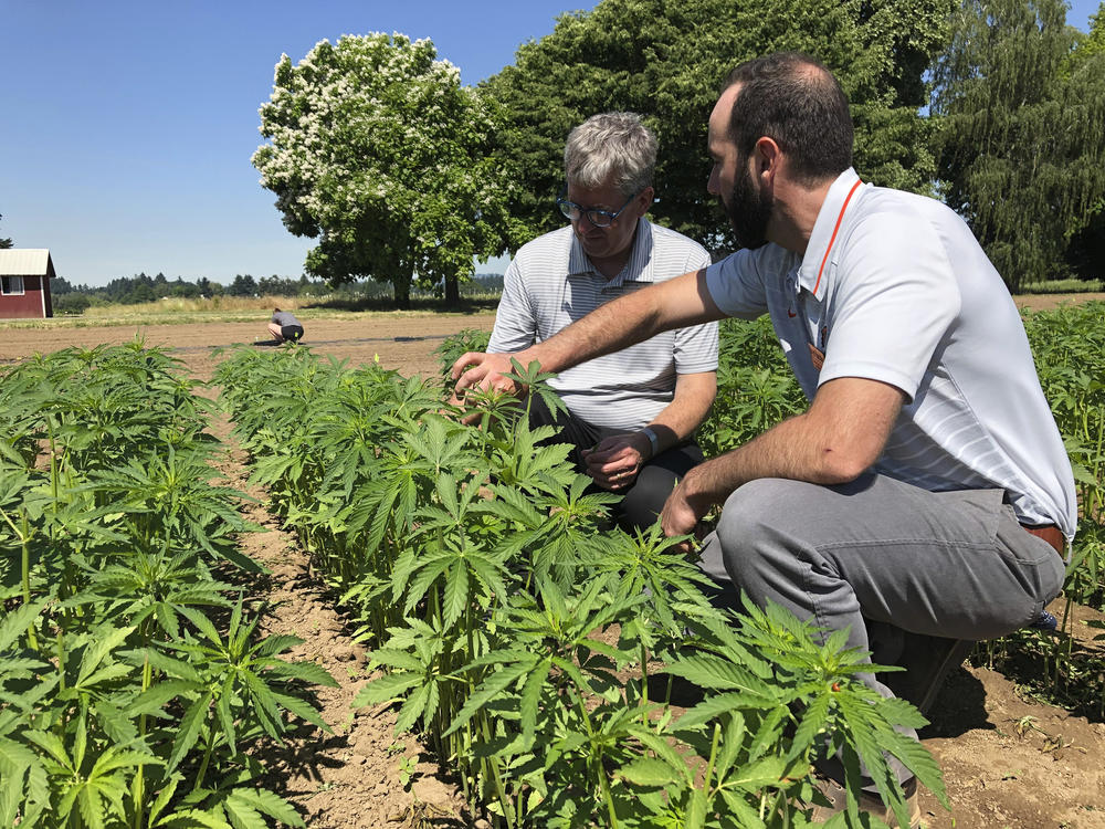 In this Thursday, June 13, 2019, photo, Jay Noller, director and lead researcher for Oregon State University's newly formed Global Hemp Innovation Center, left, inspects young hemp plants with Lloyd Nackley, a plant ecologist.