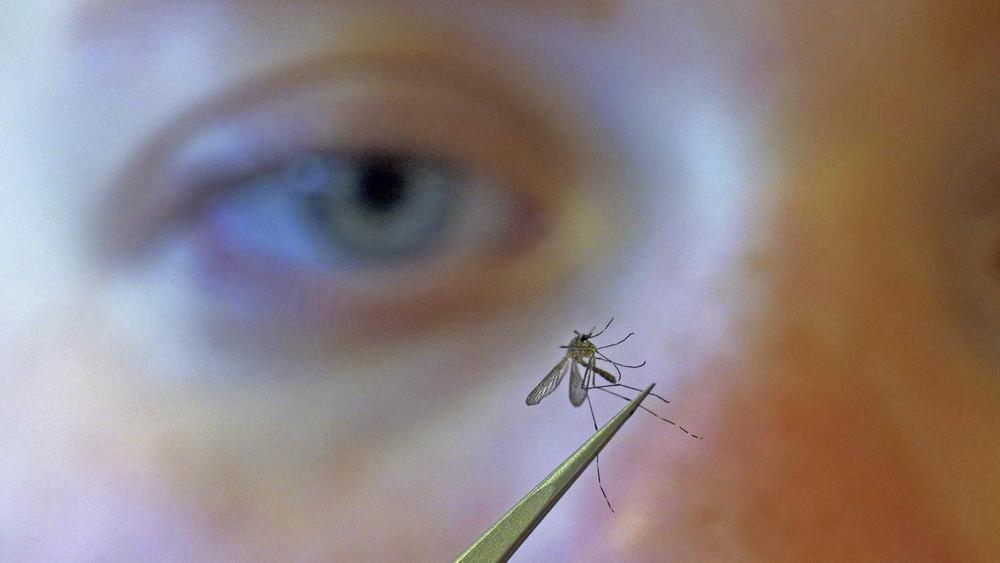 In this Aug. 26, 2019, file photo, Salt Lake City Mosquito Abatement District biologist Nadja Reissen examines a mosquito in Salt Lake City.