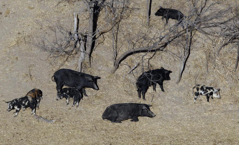 Feral pigs roam near a Mertzon, Texas ranch.