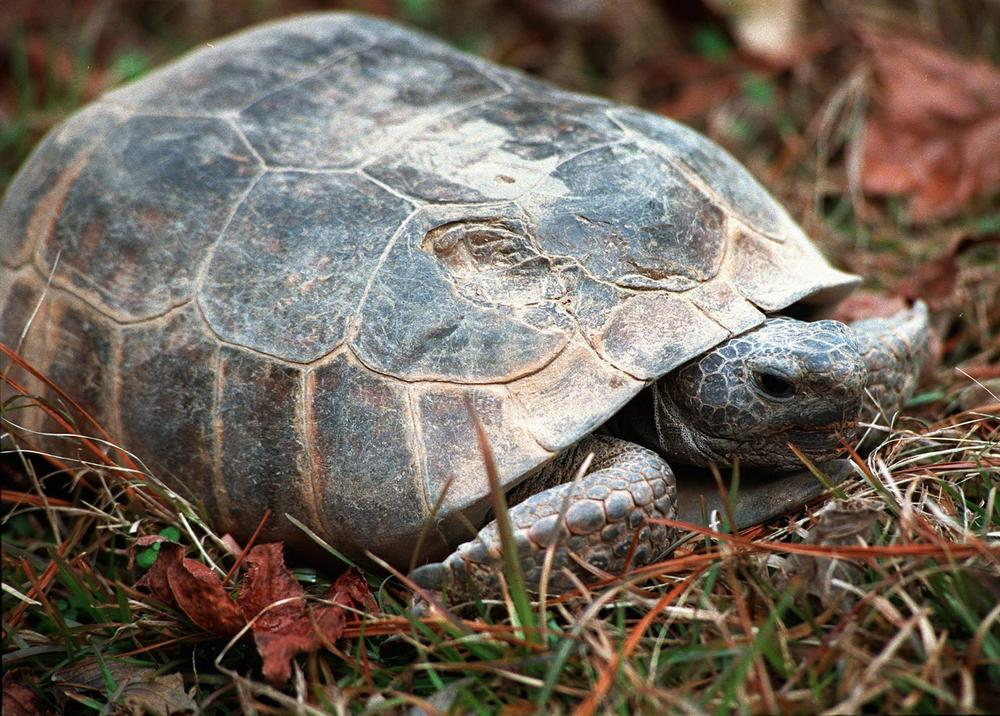 The gopher tortoise is Georgia's official state reptile