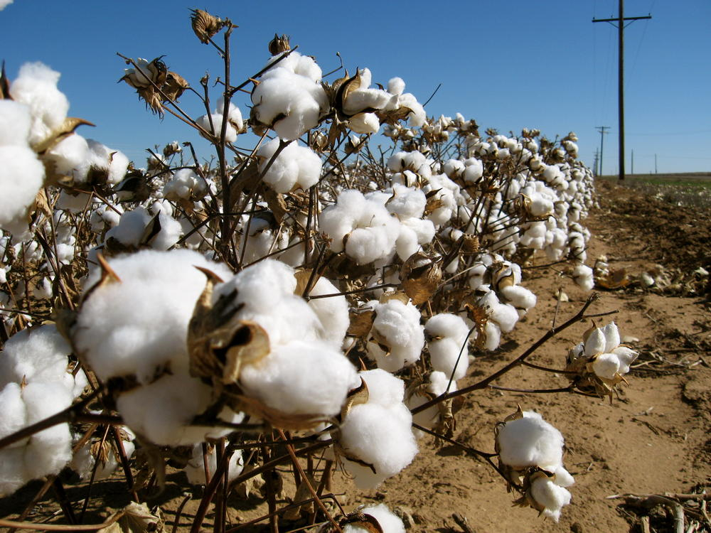 After Hurricane Michael destroyed much of Georgia's cotton crop last year, now drought-like weather is threatening the new crop, which is generally planted in May.