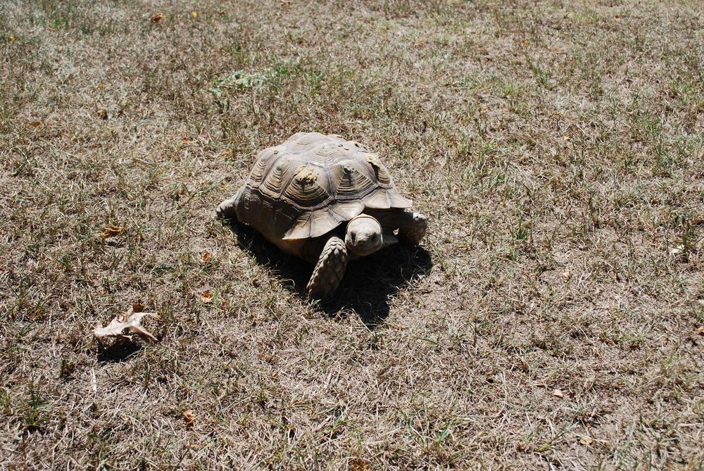 A tortoise gets some air.