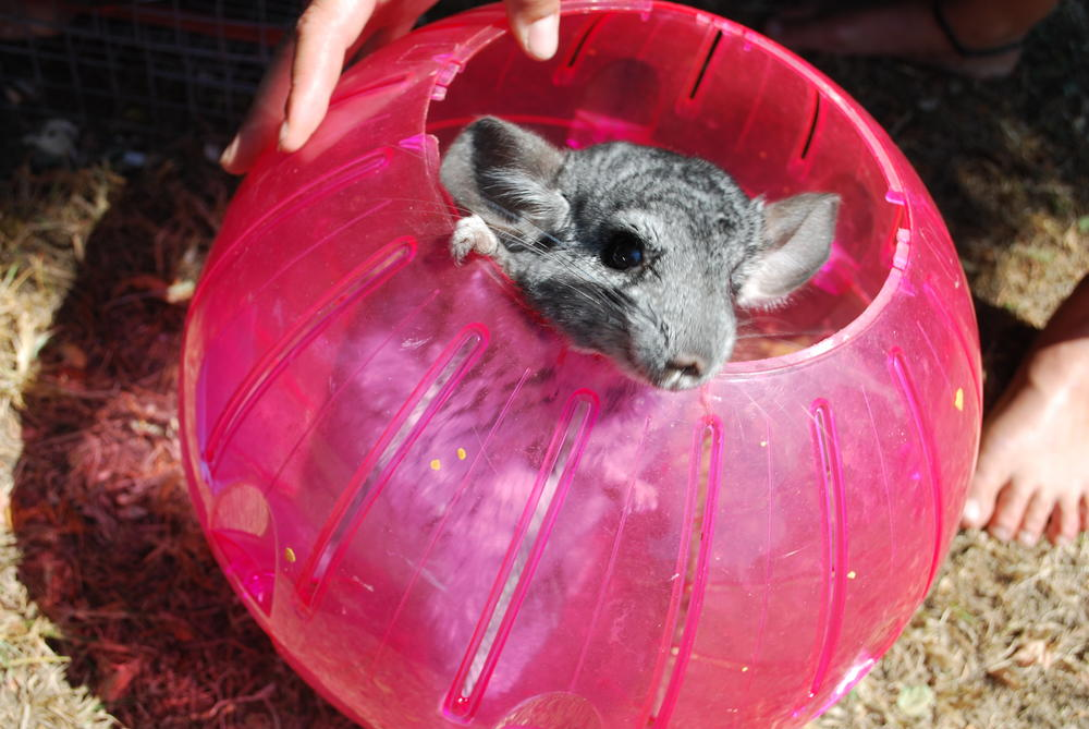 A chinchilla gets some exercise during the evacuation.