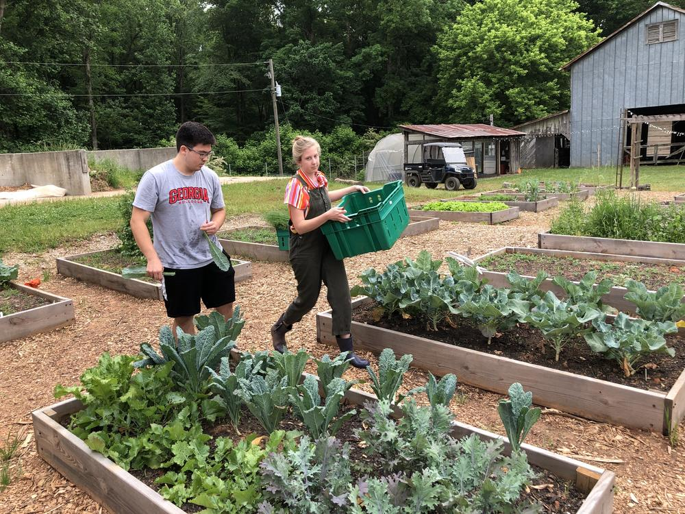 John McGinnis (left) and Lily Dabbs harvest produce on UGA's student farm.