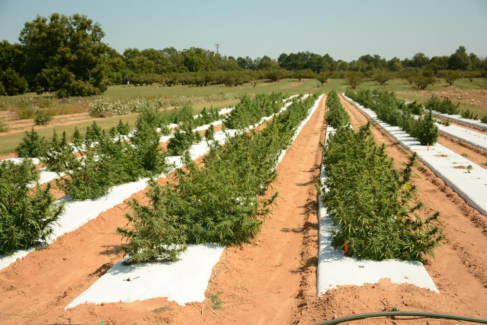 UGA planted more than 20 varieties of hemp to see which plants would flower better in the current conditions.