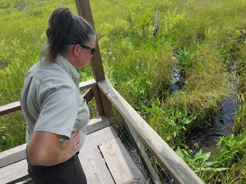 Ranger Susie Heisey observes an alligator moving in the water at Okefenokee National Wildlife Refuge