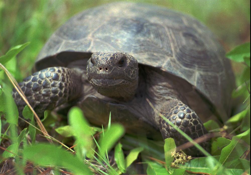 Gopher tortoises, Georgia's state reptile and a candidate for the endangered species list, live on the proposed mine site.