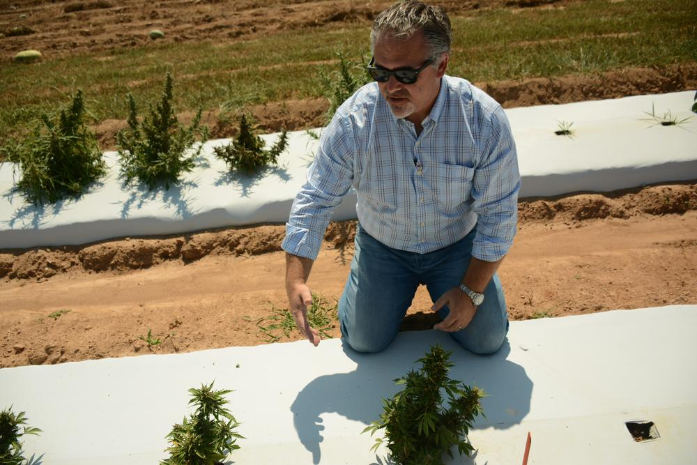 Rob Lee with Georgia Xtracts examines the plants that UGA has in the ground. He points out a few that are doing well.