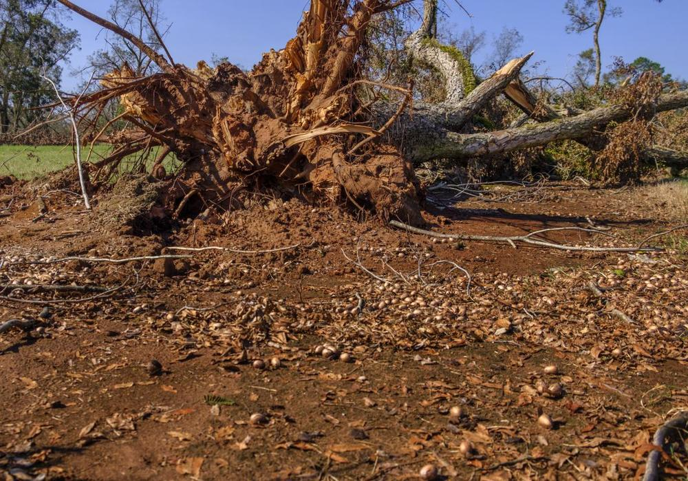 Many pecan trees were uprooted during the October storm in the middle of harvest season.