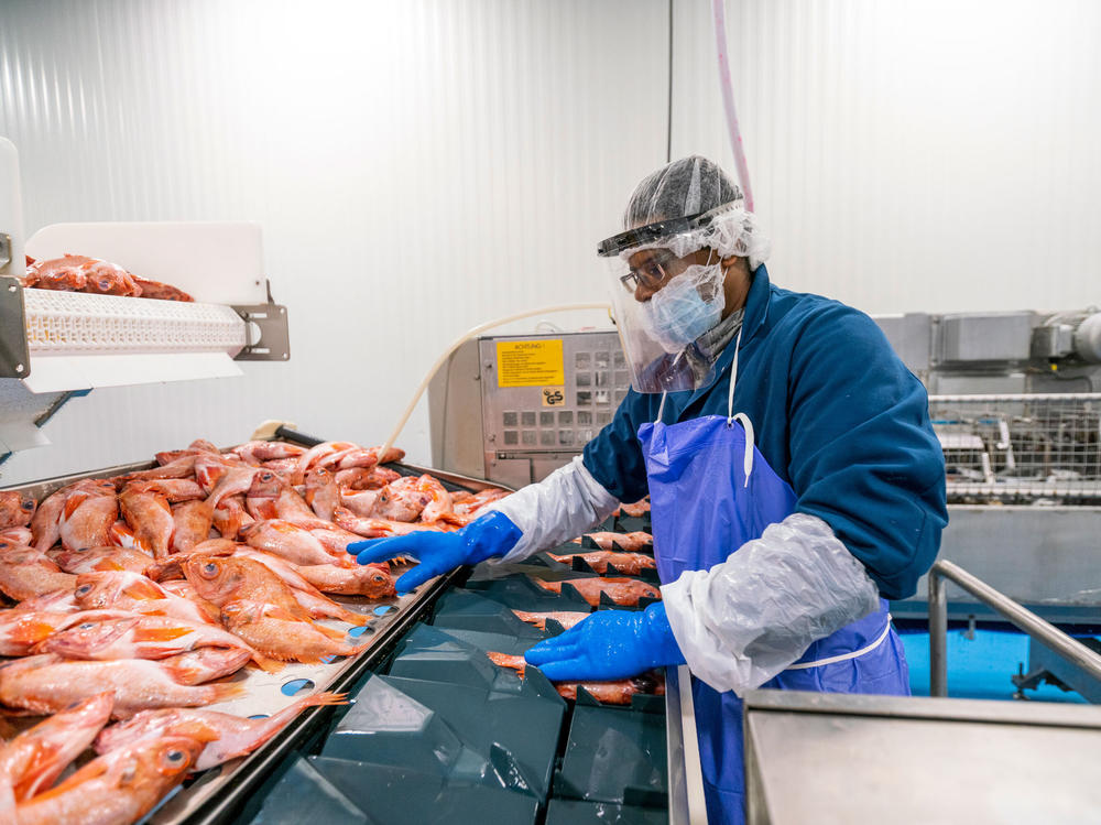 A fish-plant worker processes seafood at Blue Harvest Fisheries in New Bedford, Mass. Workers were provided face shields to prevent the spread of the coronavirus on the plant floor.<em> </em>