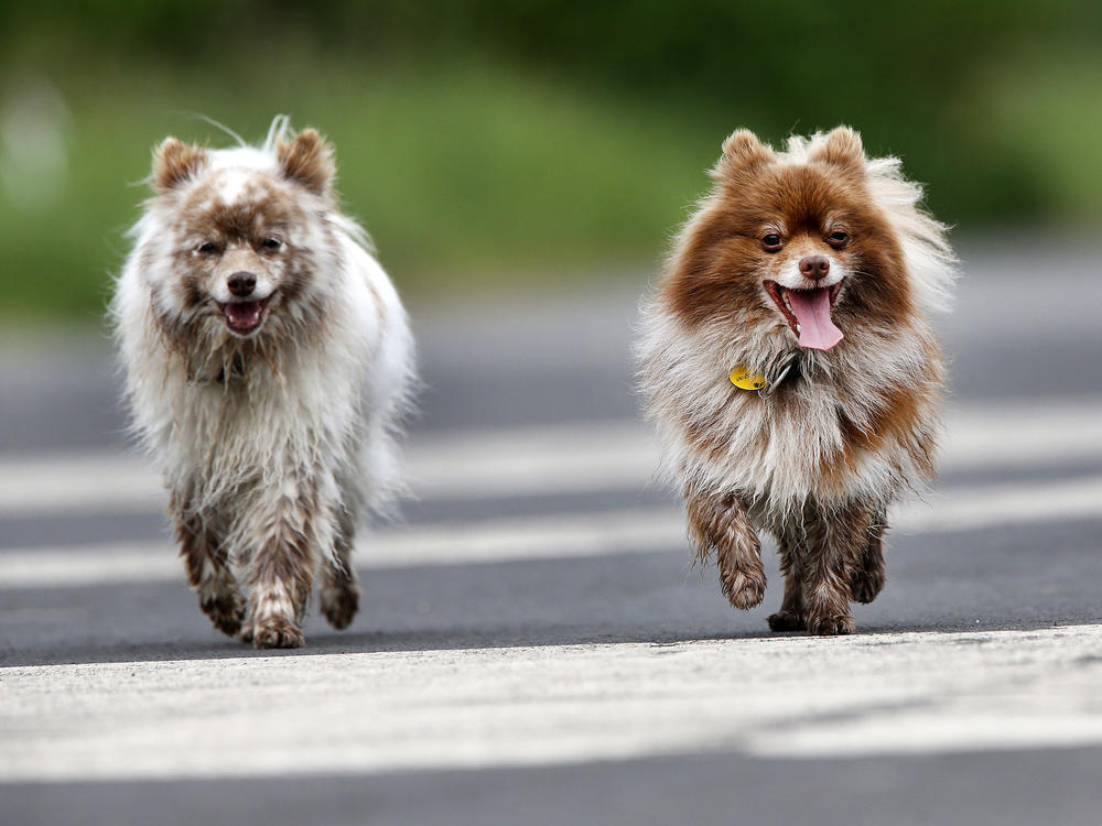 A proposed German law would require dogs to get exercise twice a day. Here, two pooches go for a walk in Frankfurt in 2016.