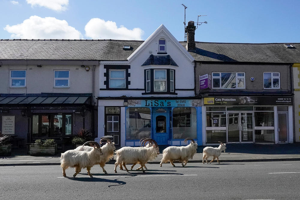 How did these mountain goats decide to take a stroll down the streets of Llandudno, Wales. One theory is that the lack of tourists due to the pandemic made the streets seem more ... enticing? And all it probably took was one curious goat to set the herd on its path to town.
