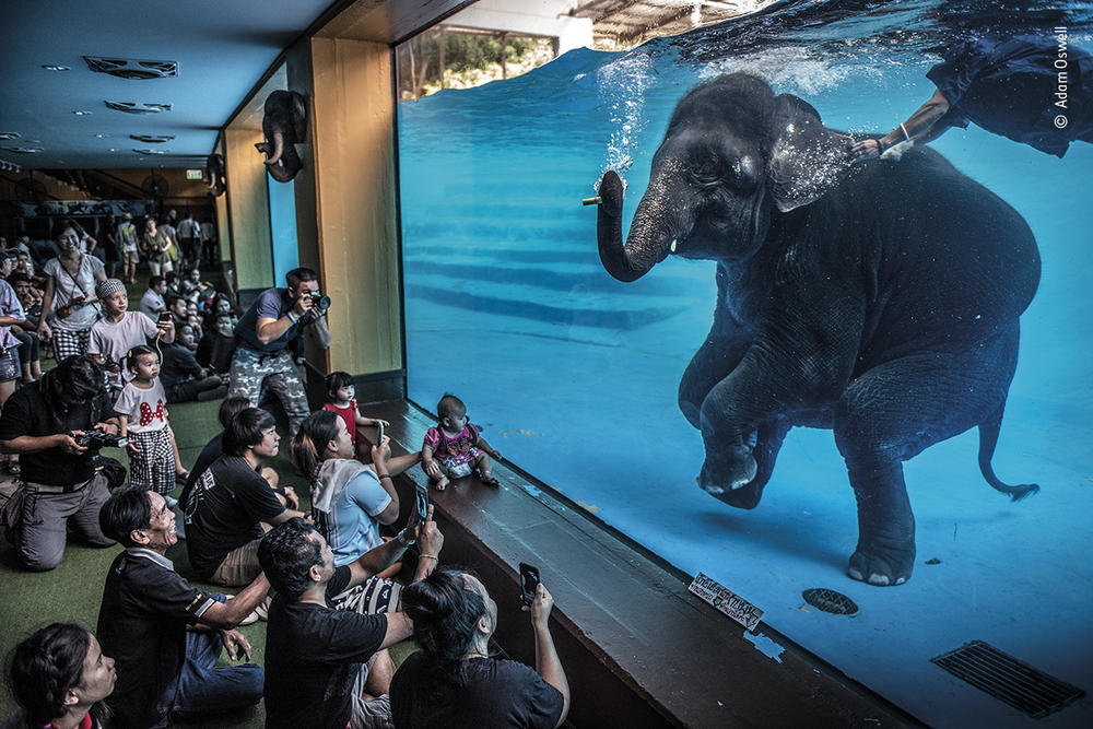 <em>Elephant in the room</em>, by Adam Oswell, Australia, winner, category: photojournalism. Oswell draws attention to zoo visitors watching a young elephant perform underwater.
