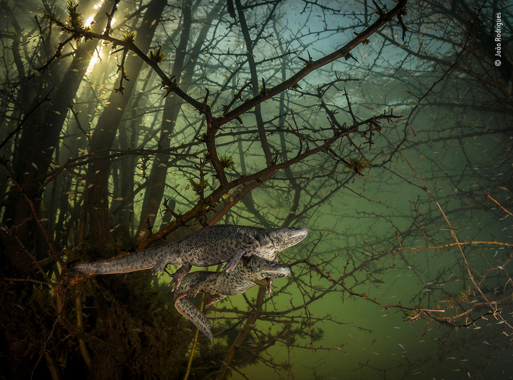 <em>Where the giant newts breed</em>, by João Rodrigues, Portugal, winner, behaviour: amphibians and reptiles category. Rodrigues was surprised by a pair of courting sharp-ribbed salamanders in this flooded forest. It was Rodrigues' first chance in five years to dive into this lake, as it emerges only in winters of exceptionally heavy rainfall, when underground rivers overflow.