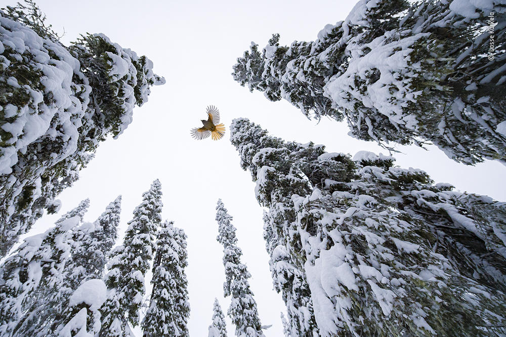 <em>High-flying jay</em>, by Lasse Kurkela, Finland, winner, age category: 15-17 years. Kurkela watched a Siberian jay fly to the top of a spruce tree to stash its food. Kurkela wanted to give a sense of scale in his photograph of the Siberian jay, tiny among the old-growth spruce-dominated forest. He used pieces of cheese to get the jays accustomed to his remotely controlled camera.