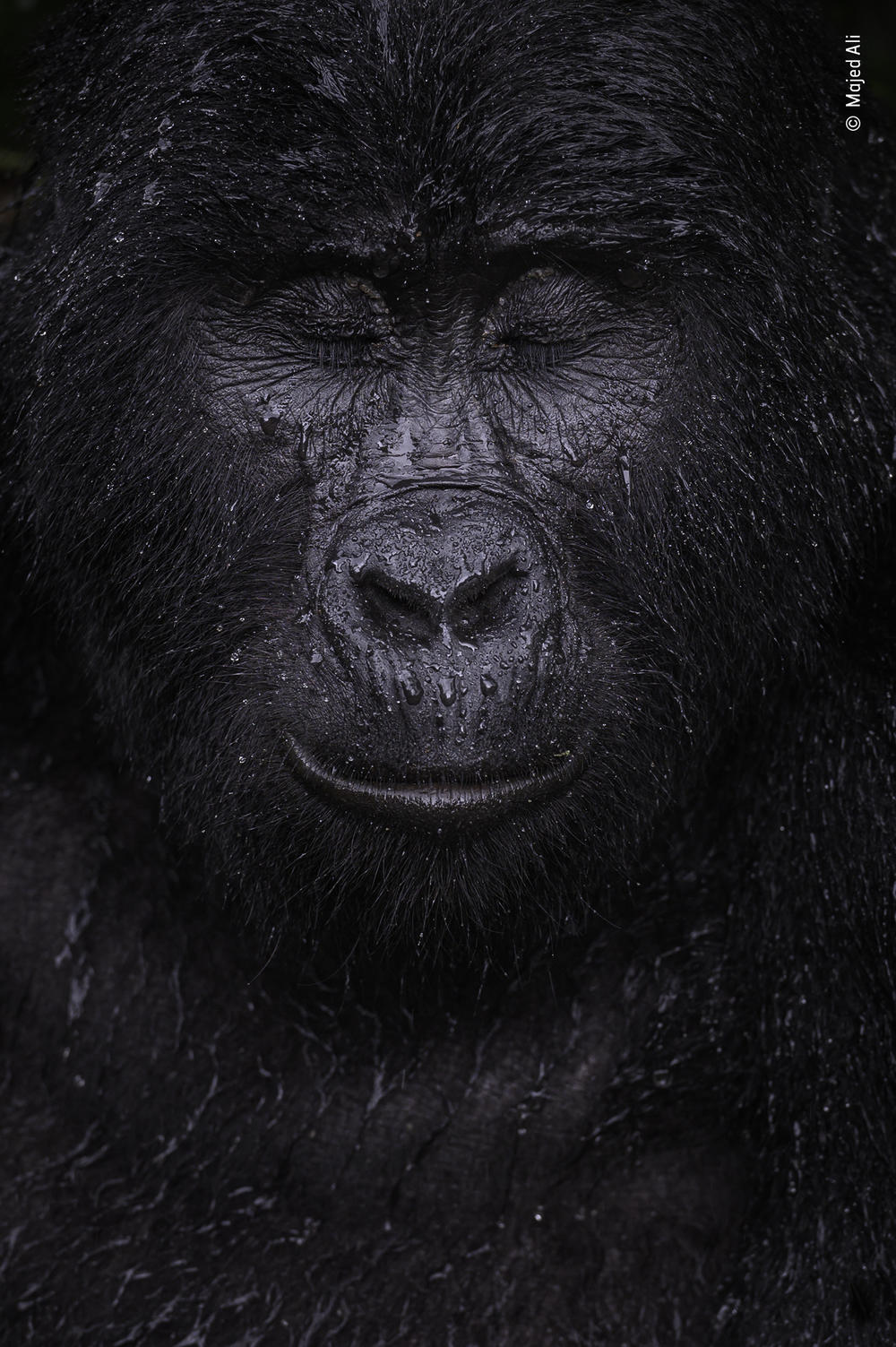 <em>Reflection</em>, by Majed Ali, Kuwait, winner, category: animal portraits. Ali glimpsed the moment a mountain gorilla closed its eyes in the rain. Ali trekked for four hours to meet Kibande, an almost-40-year-old mountain gorilla.