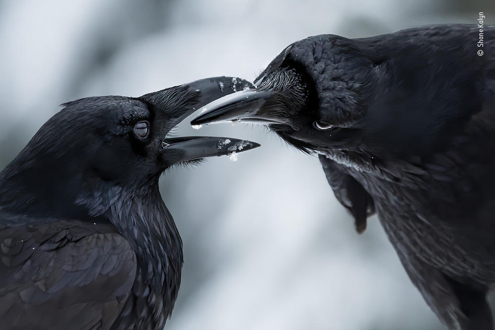 <em>The intimate touch</em>, by Shane Kalyn, Canada, winner, behaviour: birds category. Kalyn watched a raven courtship display. It was midwinter, the start of the ravens' breeding season. Kalyn lay on the frozen ground and used the muted light to capture the ravens' iridescent plumage against the contrasting snow to reveal this intimate moment when their thick black bills came together.