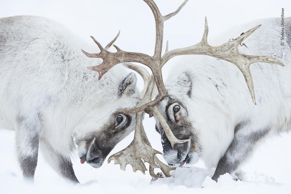 <em>Head to head</em>, by Stefano Unterthiner, Italy, winner, behaviour: mammals category. Unterthiner watched two Svalbard reindeer battle for control of a harem. Unterthiner followed these reindeer during the rutting season. Watching the fight, he felt immersed in