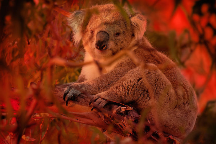 Koala climbing on eucalyptus with fire on the background.