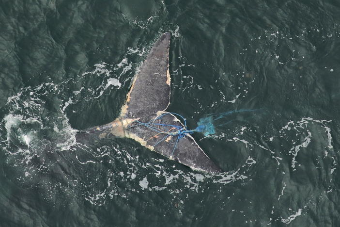 Tail of a right whale, tangled in blue fishing gear