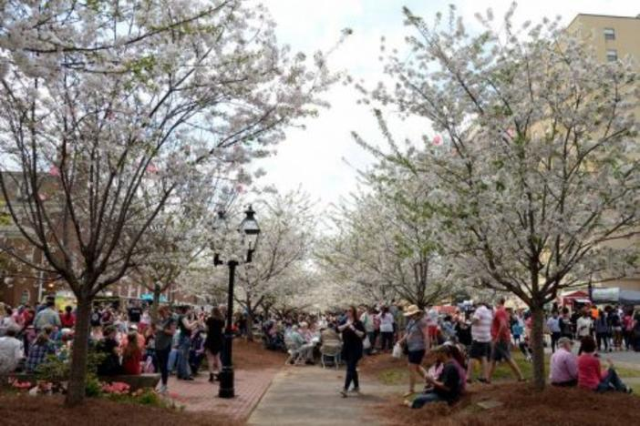 Cherry Blossom preparations in Macon's Third Street Park