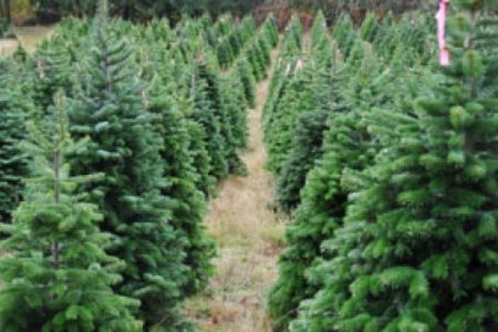 Georgia Christmas Tree Farms are Growing