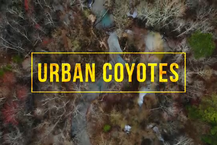 Coyotes are living in the city and in the suburbs. One coyote's journey is amazing.