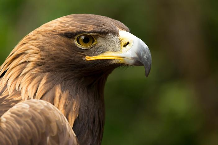 Follow eagles from the nest to the skies to see what makes these predators so remarkable.