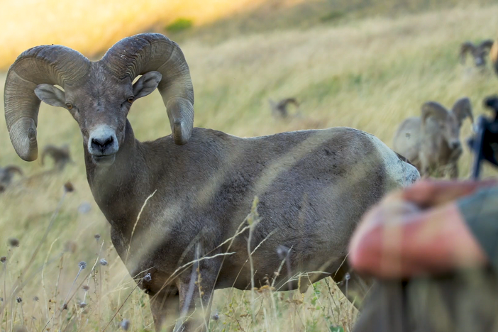 A decimated Bighorn sheep population begins their journey to a spectacular comeback.