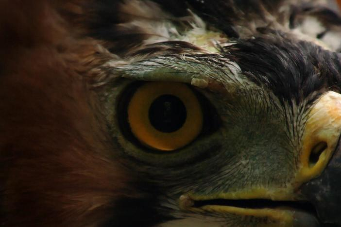 Learn why eagles have the sharpest eyesight of any vertebrate animal.
