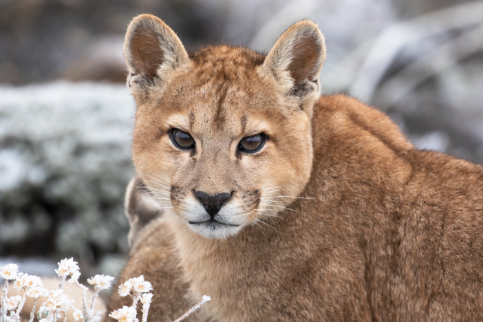 Solitaria, a mother puma, is on the move to hunt prey with her cubs close by.