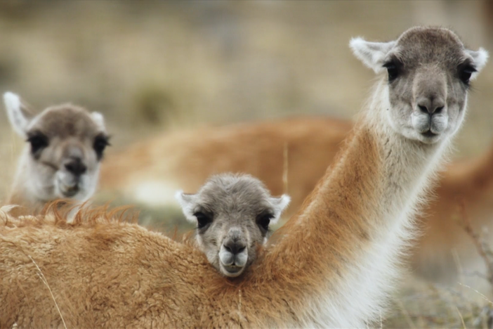 Guanacos have a unique problem when it comes to reproducing.